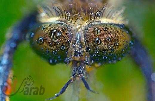 أروع الصور: قطرات الندى تحول قبح الحشرات الى جمال رباني بعدسات افضل المصورين 20120630225227img_517