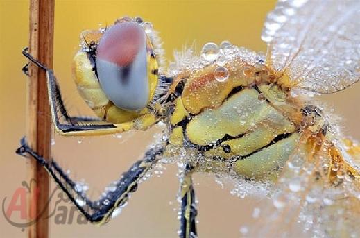 أروع الصور: قطرات الندى تحول قبح الحشرات الى جمال رباني بعدسات افضل المصورين 20120630225228img_502