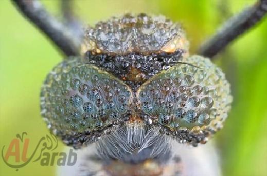 أروع الصور: قطرات الندى تحول قبح الحشرات الى جمال رباني بعدسات افضل المصورين 20120630225228img_504
