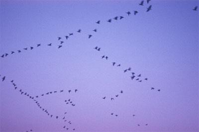 لماذا الطيور تهاجر على شكل 7 110_121260521898