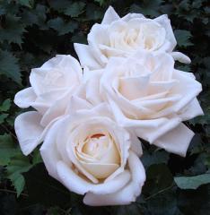 Amigo Secreto. Deja tus detalles y regalos. Parte II - Página 2 White_roses_dsc00064