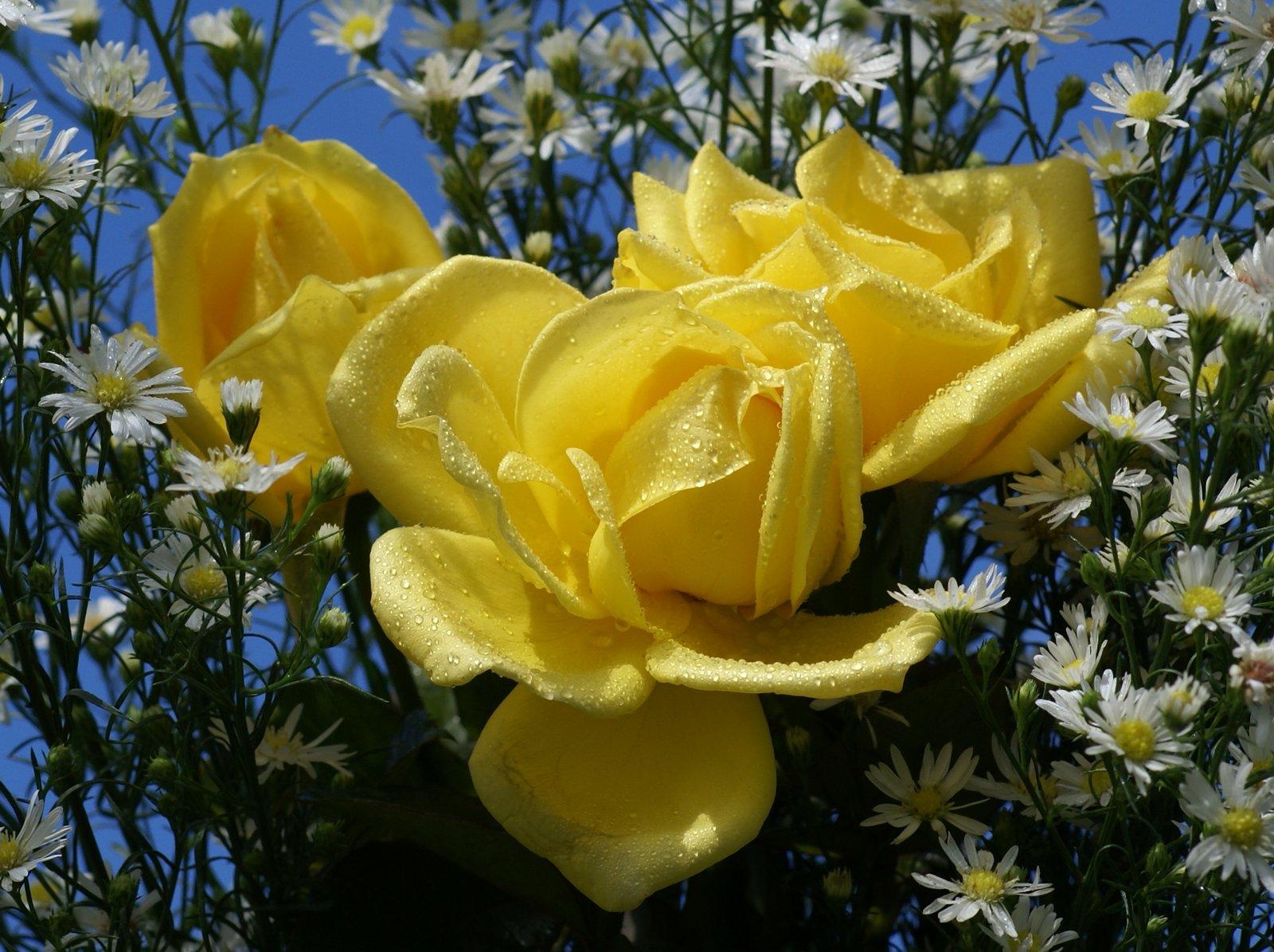 Bienvenidos al nuevo foro de apoyo a Noe #205 / 21.12.14 ~ 25.12.14 - Página 38 Rosas_mas_hermosas-dsc01844-a1
