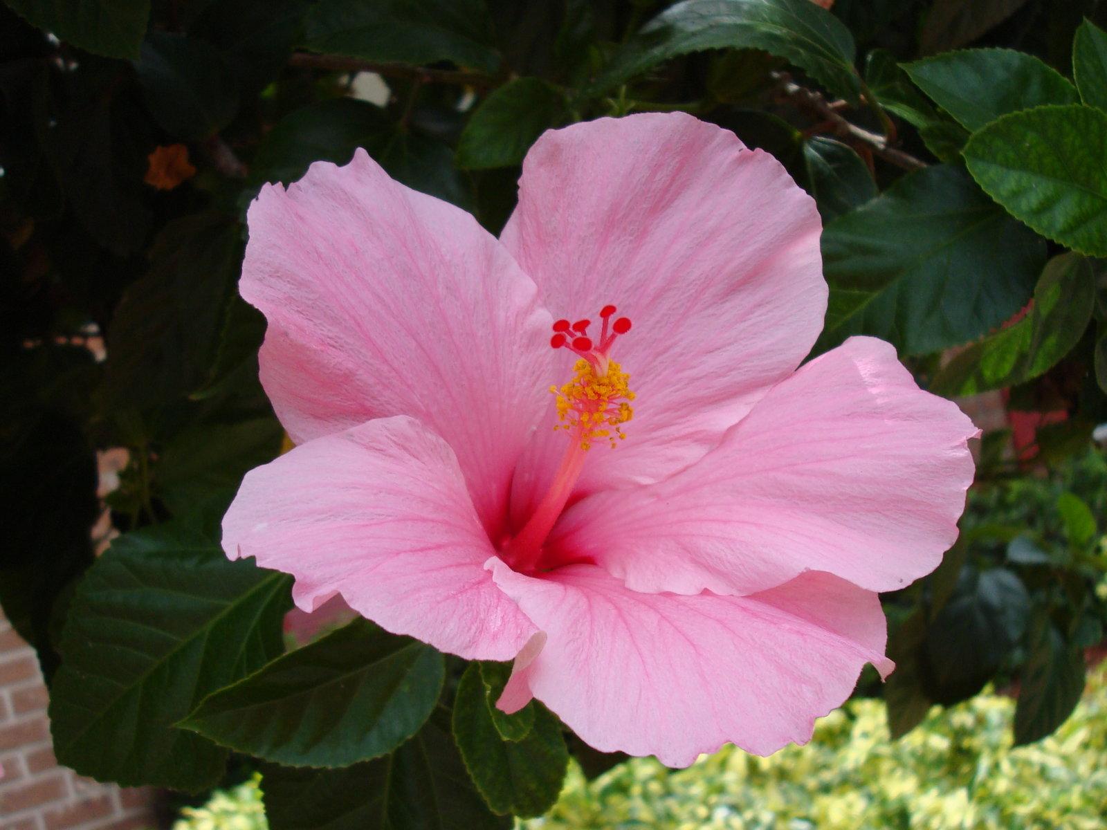 une plante -ajonc  - 13 février trouvée par Jovany Hibiscus-pink-flower-dsc01205