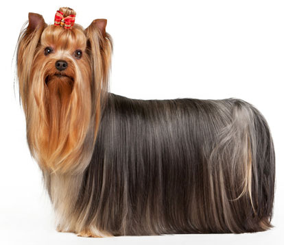 Tribute to great British icons Yorkshire-terrier