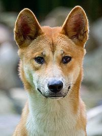 Mais où est Uccen ???  - Page 4 Australian-wild-dog-dingo-teale-shapcott