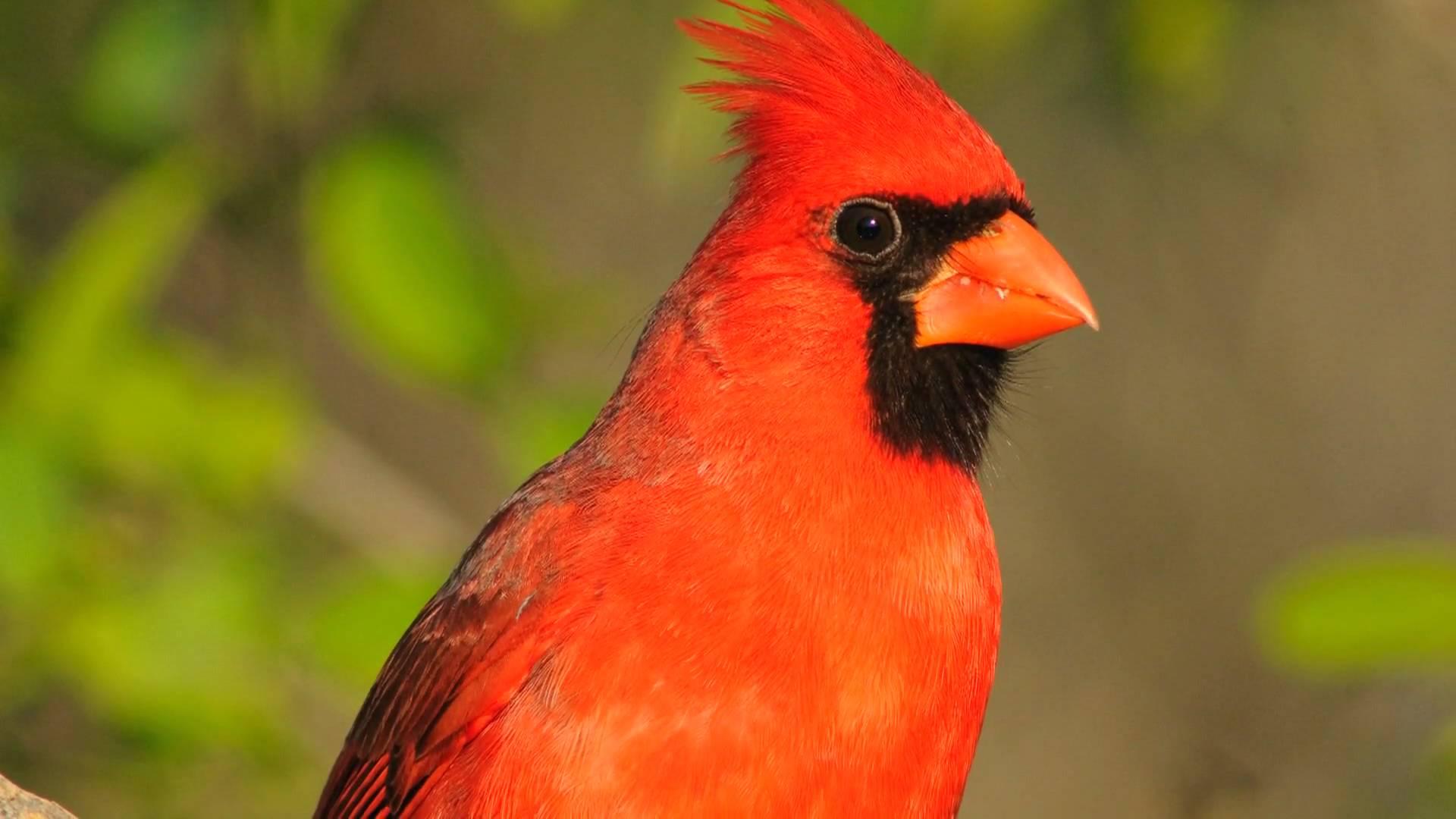 صور ومعلومات عن طائر الكاردينال Cardinal
