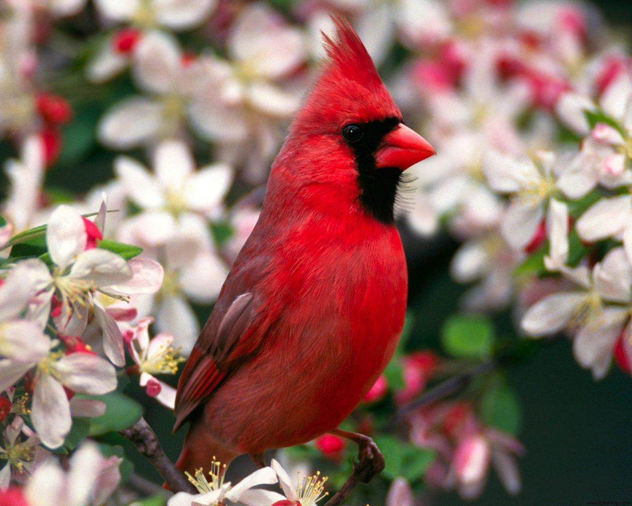 صور ومعلومات عن طائر الكاردينال Male-Northern-Cardinal