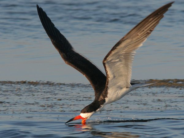 تعرف عن طائر الكشاط Black-skimmer-is-seabird-that-is-native-to-North-and-South-America.