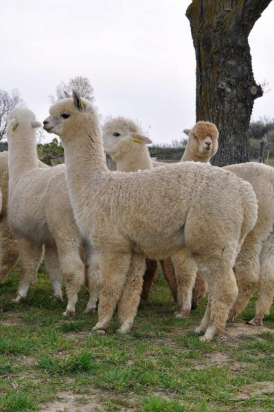 Il pastore e la figlia del Sole Allevamento-degli-alpaca