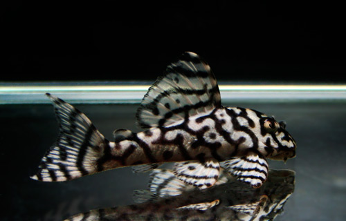 Mega Crown-Zebra 080421_Pleco