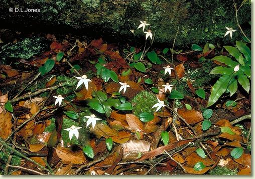 Checklist des orchidées terrestres d'Australie P008002