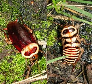 Малоизвестные виды тараканов Dorini2