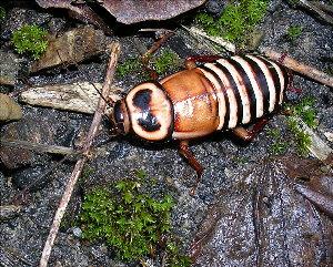 Малоизвестные виды тараканов EdecipiensAdult