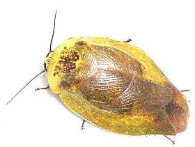 Малоизвестные виды тараканов GluridaYellow