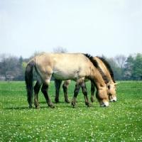 Prževalski hobune AP-15ZTVA-TH