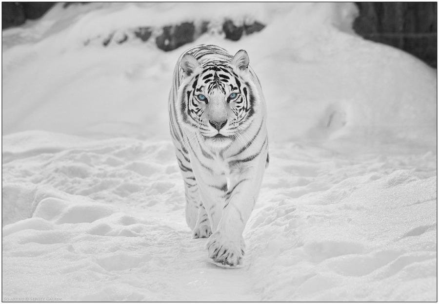 ขุนนางเสือขาว 3624229