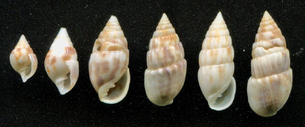 Otopleura auriscati - (Holten 1802) 1k_Otopleura-auriscati_02