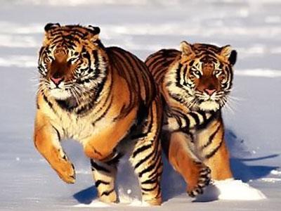 IMAGENES PARA LA ETERNIDAD Tigres-en-peligro-de-extincion
