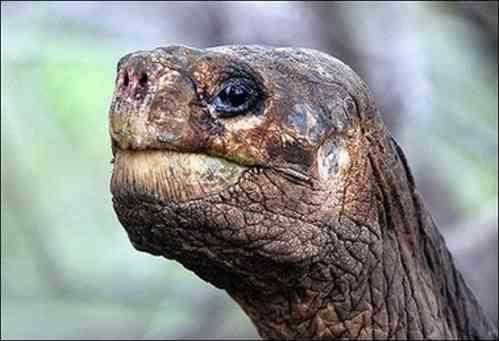 Ecuador: muere última tortuga gigante en Galápagos  0512080946_tortuga_gigante_solitario_jorge_5