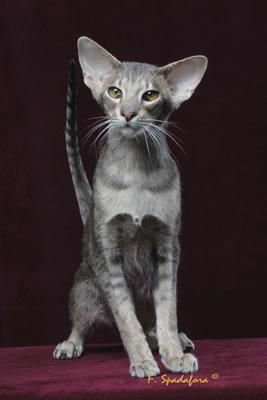 Razze Feline: una più bella dell'altra Orientale