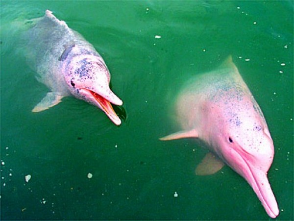 Ces choses que vous ne saviez pas, qui vous ont étonnés et que vous voulez partager! - Page 4 Pink-dolphin-boto-or-albino01