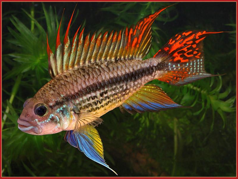 Apistogramma cacatuoides Apistogramma_cacatuoides-poisson-eau-douce-aquarium