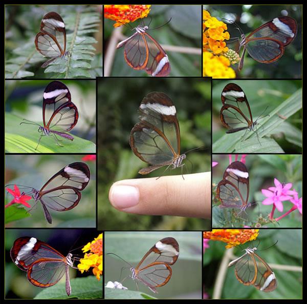 هل رأيت من قبل الفراشة ذات الاجنحة الزجاجية ـ ـ انظر وتأمل الصور ـ Butterfly1