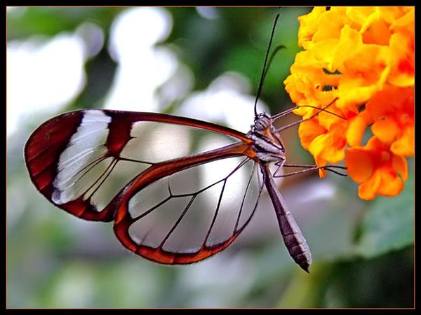 هل رأيت من قبل الفراشة ذات الاجنحة الزجاجية ـ ـ انظر وتأمل الصور ـ Butterfly2