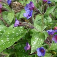 une plante à découvrir par blucat(29juillet)trouvée par sylvie Pulmonaire-DSC01243-200x200
