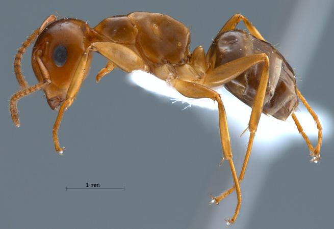un animal - Blucat - 9 octobre trouvé par Martine Camponotus-schmitzi-lateral-am-lg_n