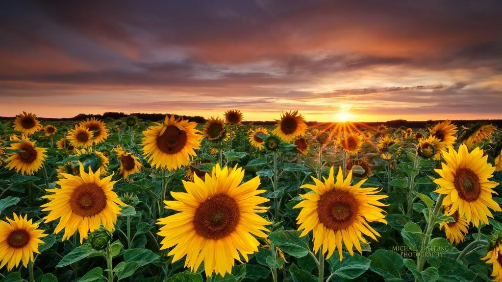 Ενημέρωση 20-2-2017 Magic-Landscape-Sunflower-Garden_1920x1080-1024x576
