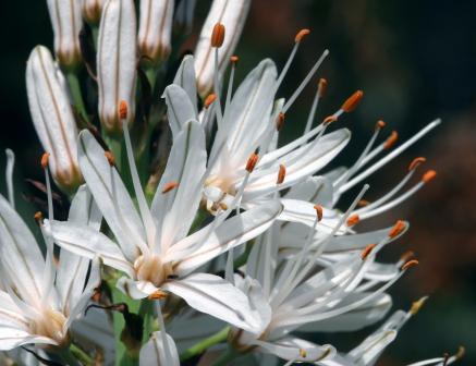 une fleur - blucat-  8 août trouvée par martine 1239661356