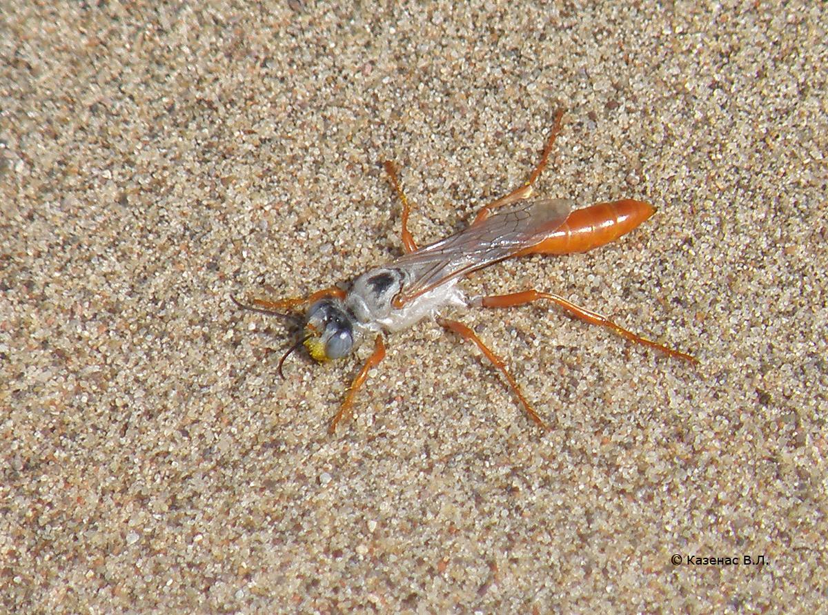 Bộ sưu tập côn trùng 2 - Page 4 22%20Hym.%20Sphecidae.%20Parapsammophila%20turanica%20P6052171s
