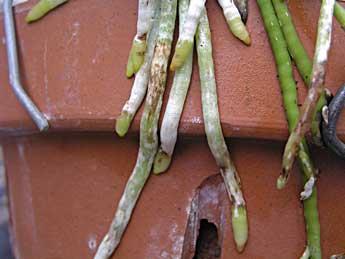 Racines au menu  Roots