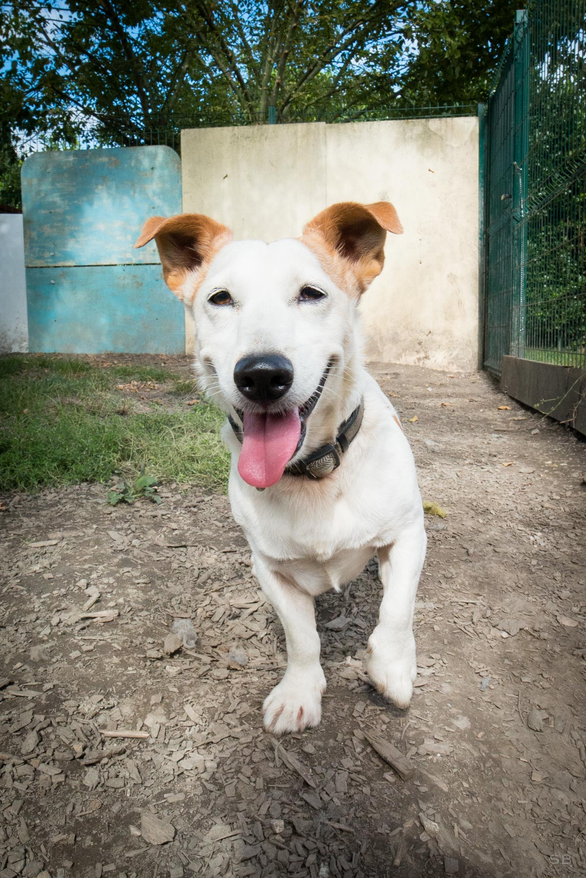 CHUCK - jack russel 10 ans  (4 ans de refuge) - APAGI à Le Versoud (38) Chuck-chien-male-jack-russel-terrier-marron-et-blanc-4