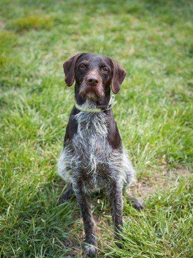 MARLEY - x drahthaar 4 ans - APAGI à Le Versoud (38) Marley-chien-male-brque-croise-drathaar-marron-truite-1.jpg__530x530_q85
