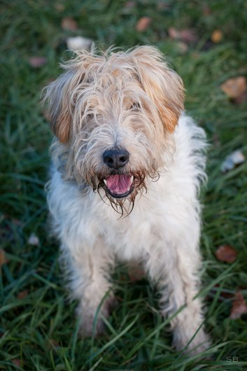 ARAMIS - x fox terrier 13 ans - APAGI è Le Versoud (38) Aramis-chien-male-croise-fox-terrier-tricolore-1.jpg__530x530_q85
