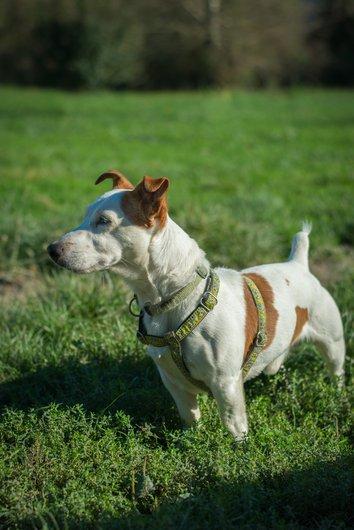 CHUCK - jack russel 10 ans  (4 ans de refuge) - APAGI à Le Versoud (38) Chuck-chien-male-jack-russel-terrier-marron-et-blanc-3.jpg__530x530_q85