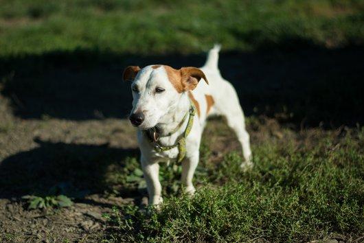 CHUCK - jack russel 10 ans  (4 ans de refuge) - APAGI à Le Versoud (38) Chuck-chien-male-jack-russel-terrier-marron-et-blanc-1.jpg__530x530_q85