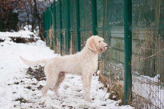 NEOo - griffon vendeen 3 ans  - APAGI à Le Versoud (38) Neo-chien-male-griffon-vendeen-beige-2.jpg__530x530_q85