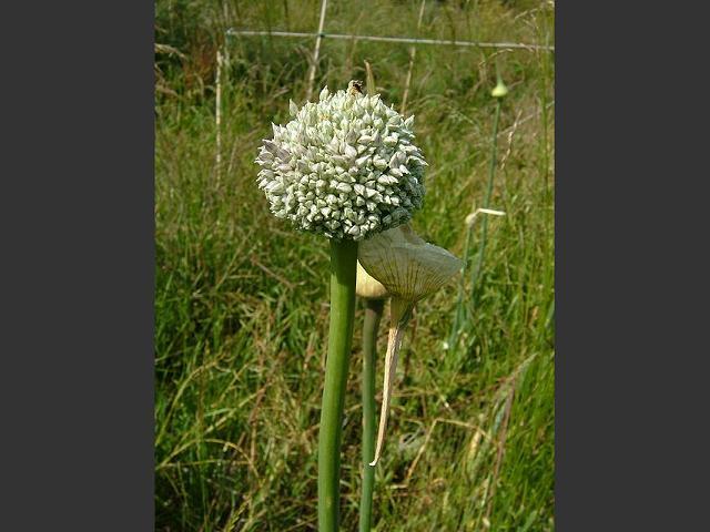 Gran Bretaña - 3 Pence de Georgius VI (1942) Allium_porrum_garden_commercial_leek_flower_head_20-06-06