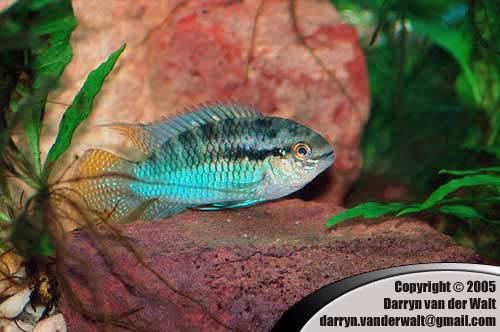 Cichlidés et petits aquariums: suggestions (1ère partie) Laetacara_curviceps_3