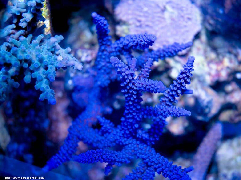 coraux durs Acropora Acropora-hoeksemai