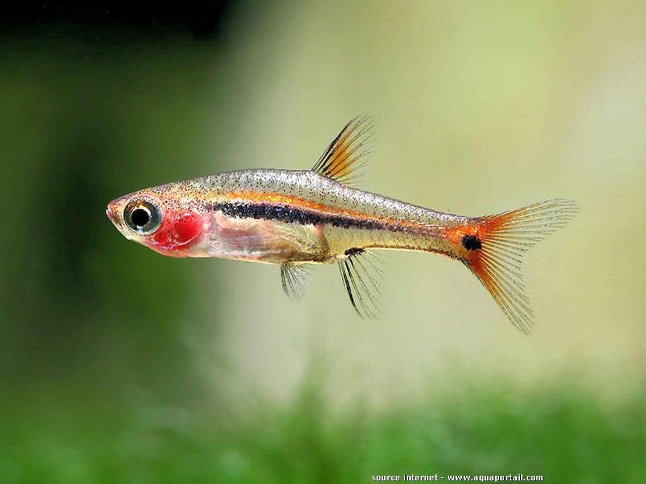 Besoin d'aide pour identifier mes poissons ! Boraras-urophthalmoides