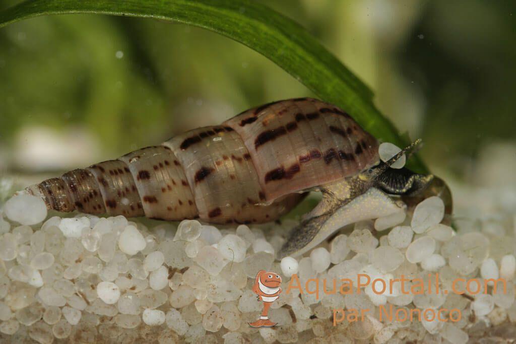 Odeur d'égout Melanoides-tuberculata