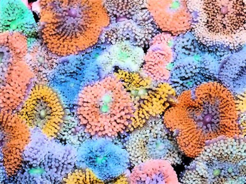 Les coraux faciles Bedotia_1265094280_ricordea_photos