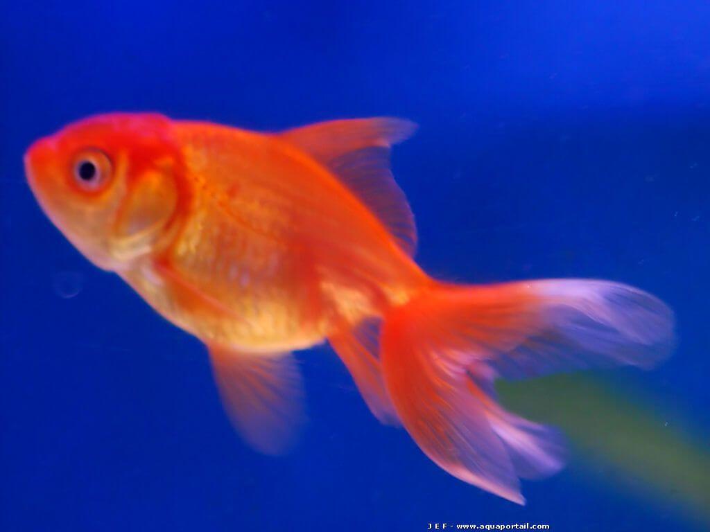 Quel est votre poisson préféré?? - Page 3 Anemone-clown_1322913402-poisson-rouge-rouge