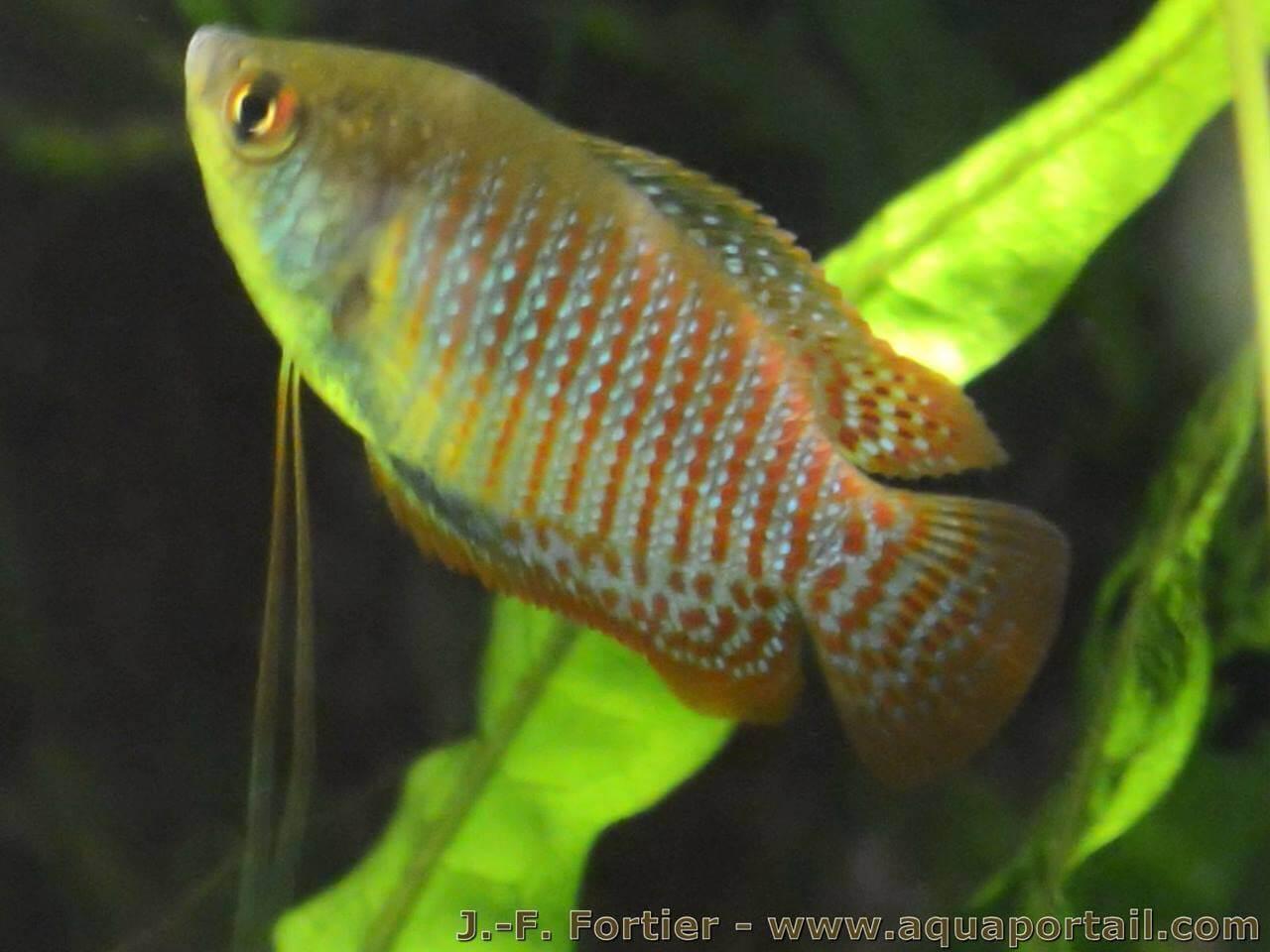 L'aquarium de Protector - Page 3 Male-trichogaster-lalius-colisa-lalia-sauvage