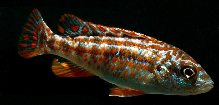 Sélection de aqualifestyle-france - les poissons du Malawi - Afrique  Melanochromis%20exasperatus%20joanjohnsonae