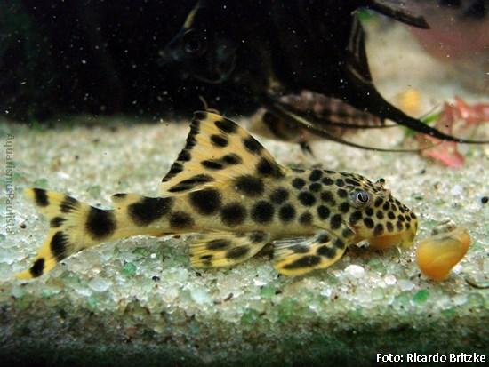 Peixes comedores de algas Calgae00